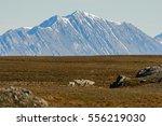 arctic landscape in svalbard ... | Shutterstock . vector #556219030