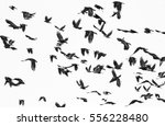 Small photo of flock of birds isolated on white background and texture, ( Rook and Jackdaw )