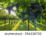 grape harvest   Shutterstock . vector #556228720