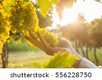 grape harvest | Shutterstock . vector #556228750