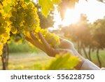 grape harvest | Shutterstock . vector #556228750