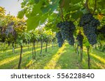 grape harvest | Shutterstock . vector #556228840
