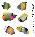 angelfish of indian and pacific ... | Shutterstock . vector #556253488