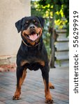 Beautiful Rottweiler Dog