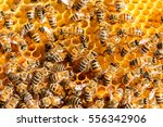 closeup of bees on honeycomb in ... | Shutterstock . vector #556342906