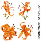 Tiger Lily Flower Bud Isolated...
