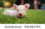 pig cute newborn standing on a... | Shutterstock . vector #556381594