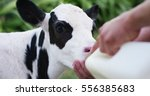 A Farmer Gives To Drink A Milk...