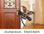 Stock photo jack russell dog waiting a the door at home with leather leash in mouth ready to go for a walk 556414654