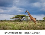 running giraffe in motion... | Shutterstock . vector #556422484