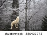 wolf's howling in the winter... | Shutterstock . vector #556433773