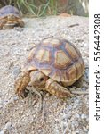 Small photo of Close up African spurred tortoise resting in the garden, Slow life ,Tortoise sunbathe on ground with his protective shell ,Beautiful African Spurred Tortoise
