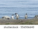 group of magellanic penguins on ... | Shutterstock . vector #556506640