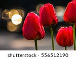 few red tulips on dark background with bokeh blurs - stock photo