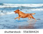 photo of golden retriever... | Shutterstock . vector #556584424