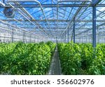 Modern Greenhouse With Tomato...