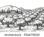 hand drawn olive grove... | Shutterstock .eps vector #556670020