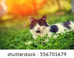 Stock photo black and white cat lying in the clover 556701679