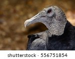 Small photo of American black vulture (Coragyps atratus) bokeh background. Closeup shows details of head, neck and eye. Horizontal orientation.