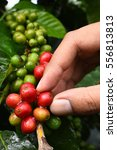 coffee beans ripening on a tree. | Shutterstock . vector #556813813