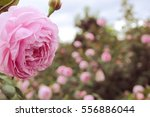 Stock photo pink rose in garden 556886044