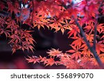 the fall of a.palmatum | Shutterstock . vector #556899070