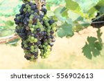 fresh grapes in vineyard | Shutterstock . vector #556902613