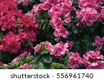Pink Azalea Flowers....