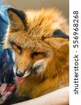 red fox indoor | Shutterstock . vector #556968268