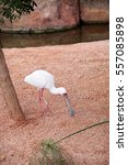 Small photo of African spoonbill birds at the zoo