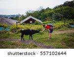Man Feeding Cow