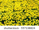 Yellow Tulips In A Spring Garden