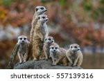 meerkat  surikate  playing in... | Shutterstock . vector #557139316