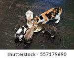 Domestic Cat Eating Food On Th...