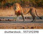 close up southwest african lion ... | Shutterstock . vector #557192398