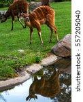 Young Sitatunga Antelope Is...