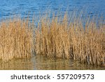 shoreline of a lake with reed... | Shutterstock . vector #557209573