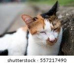 tri color cat sleepy cat on... | Shutterstock . vector #557217490