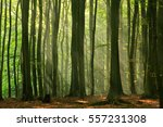 Green Forest Of Beech Trees...
