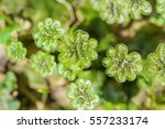Small photo of A perennial plant of Marchantia (lat. Marchantia) is a genus of perennial plants sloyevishchny family Marchantiaceae Hepatic mosses (Marchantiophyta)