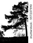 pine tree on white | Shutterstock . vector #557237590