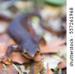 California Newt (Taricha torosa) crawling on leaves