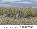 Flock Graceful Cranes Walk On...