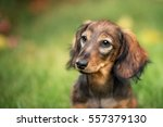 Stock photo a beautiful dachshund puppy dog with sad eyes dog portrait 557379130
