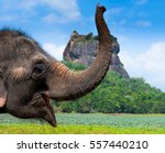 Elephant In Sigiriya Lion Rock...