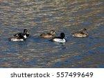 Ring Necked Duck Flock Swimmin...