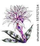 aechmea fasciata bromeliad... | Shutterstock . vector #557527114