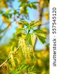 Small photo of Box elder maple or Acer negundo flower in spring in the rays of the bright sun. Natural phorography.