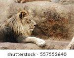 lion   Shutterstock . vector #557553640