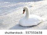 white swan on ice   Shutterstock . vector #557553658